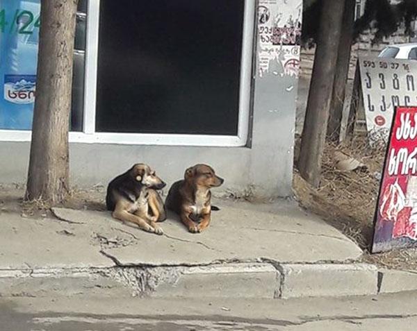 ცხოველთა მონიტორინგის სააგენტოს ინფორმაციით, თბილისში დაახლოებით 25 ათასამდე მიუსაფარი ძაღლია