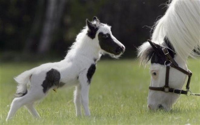 ყველაზე პატარა ცხენი  (+ვიდეო)
