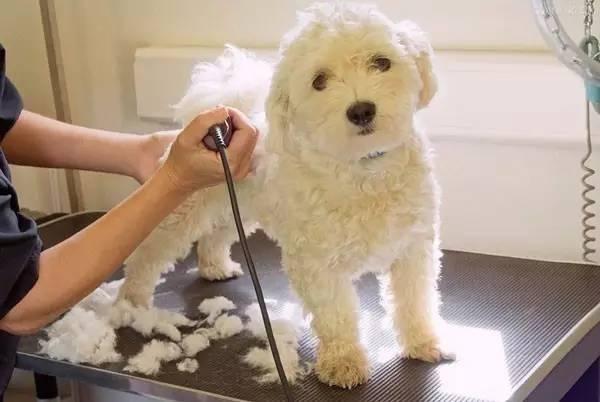 რატომ არ შეიძლება ძაღლისთვის ბეწვის შეჭრა/გაპარსვა, მიუხედავად მაღალი ტემპერატურისა?