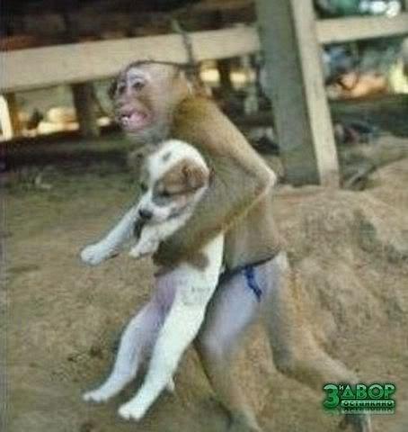 მაიმუნს ცელცხმოკიდებული შენობიდან ლეკვი გამოყავს