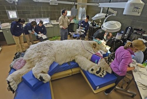 როგორ მკურნალობენ დიდი ზომის ცხოველებს. მსგავსი არასოდეს გინახავთ