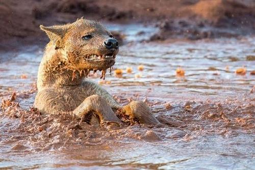 ცხოველების 10 სახეობა, რომლებიც ტალახში თავს ბედნიერად  გრძნობენ