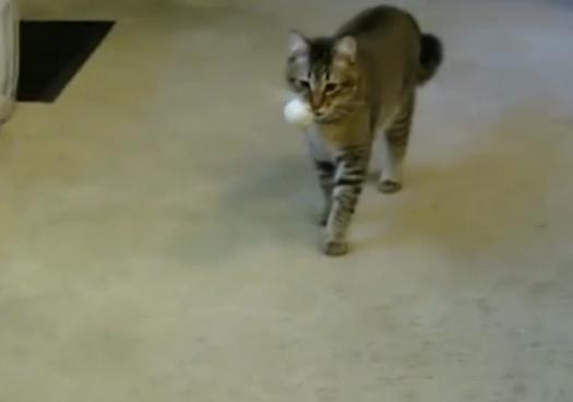 მსოფლიოში პირველი კატა, რომელიც ლუკმაპურს შრომით მოიპოვებს (+ვიდეო)