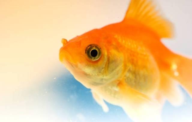 სპეციალისტები: თევზები ტკივილს ისევე გრძნობენ, როგორც ადამიანები