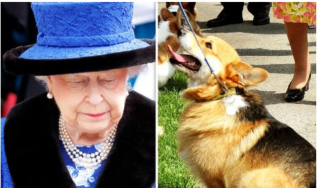 დიდი ბრიტანეთის დედოფალს, ელისაბედ II-ს მისი პირველი კორგის უკანასკნელი შთამომავალი მოუკვდა