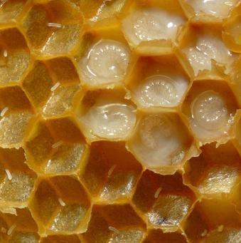 ფუტკრის რძე 54 დაავადებას კურნავს