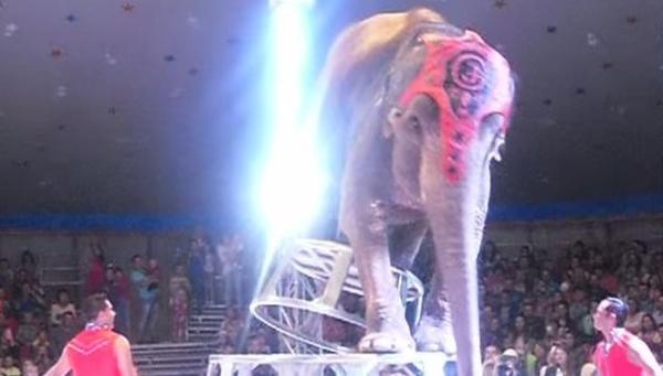 ცირკის სპილო, წარმოდგენის დროს,  დაშავებული მეგობრის დასახმარებლად გაიქცა (+ვიდეო)