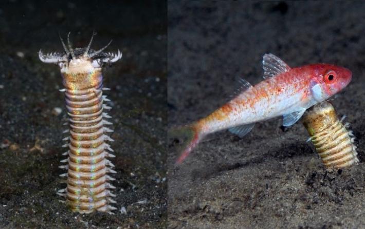 მეცნიერების მიერ აღმოჩენილი ზღვის ჭიაყელას მტაცებელი შთამომავალი ბევრად გრძელი და შემზარავია