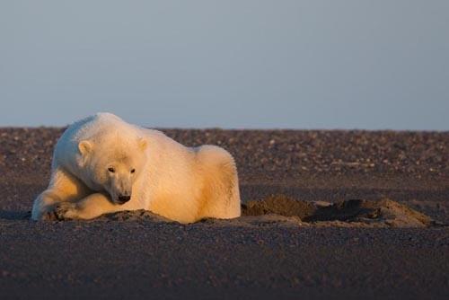 ფოტოგრაფი ალასკაზე თოვლში მოთამაშე თეთრი დათვების გადასაღებად წავიდა, მაგრამ იქ თოვლი არ დახვდა