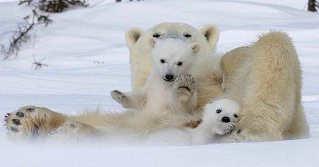 თეთრი დათვებისა და მათი შვილების შთამბეჭდავი ფოტოები