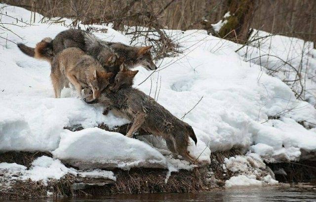 მგელი, ბუნების უმშვენიერესი ქმნილება: გრაციოზული მტაცებლის ცხოვრების ზოგიერთი წესი