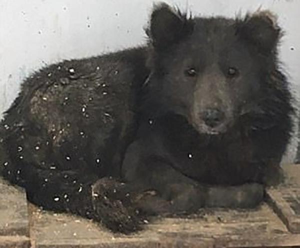 რუსეთში იპოვეს ძაღლი, რომელიც დათვს ძალიან ჰგავს