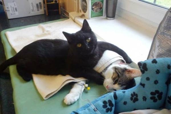 კატა, რომელიც თავშესაფარში ნაოპერაციებ ცხოველებზე ზრუნავს