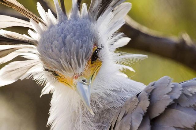 """გრაციოზული ფრინველმდივანი: """"შხამიანი გველების მკვლელი"""""""