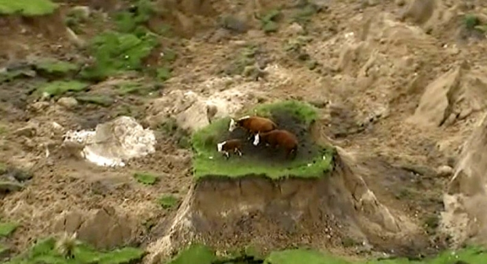 """მიწისძვრის დროს მიწამ 3 მეტრით აიწია და ძროხები """"კუნძულზე"""" აღმოჩნდნენ... (+ვიდეო)"""