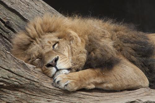 რამდენი საათის განმავლობაში სძინავს სხვადასხვა სახეობის ცხოველს?