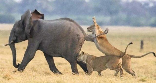 სპილოების ჯოგმა მშიერი ლომებისგან პატარა სპილო გადაარჩინა