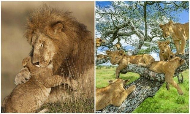ცხოველთა მეფეები: ლომების 10 ფოტო, რომლებიც საუკეთესო ნამუშევრებად აღიარეს