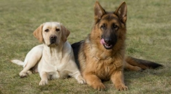 ძაღლის ყველაზე პოპულარული ჯიშების ათეული ბოლო მონაცემებით