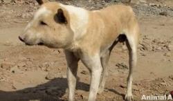 ამ ძაღლის სახე იმდენად დეფორმირებული იყო, რომ ის ღორს მოგაგონებდათ (+ვიდეო)