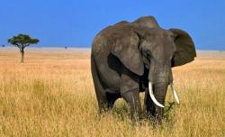 აფრიკულ სპილოებს წვიმის ხმა 100 კილომეტრის სიშორიდან ესმით