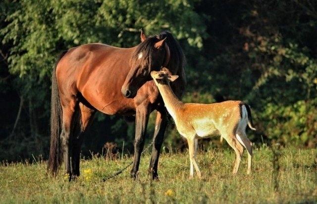 დაობლებული ირმის ნაშიერი ყოველ დილით საძოვარზე აკითხავს ცხენს, რომელიც დედა ჰგონია