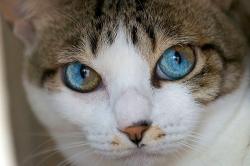 ჰეტეროქრომია - როცა კატების თვალებში მთელი სამყაროა (+ფოტო)