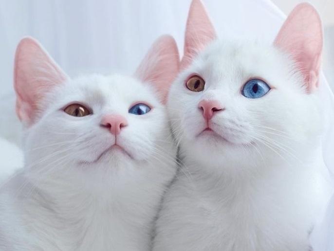 გაიცანით მსოფლიოში ულამაზესი ტყუპი კატა (+ფოტო)