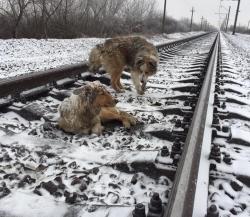 მატარებლის ხმაზე ხვადმა დაჭრილ ძუსთან საშველად მიირბინა... ისინი ერთმანეთს ჩაეხუტნენ და თავები დახარეს… (+ვიდეო)