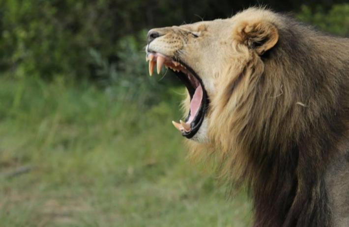 სამხრეთ აფრიკის რესპუბლიკაში ლომებმა მარტორქებზე მონადირე 3 ბრაკონიერი შეჭამეს
