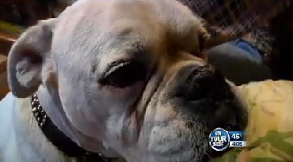 უნარშეზღუდული ძაღლი პატრონის გადასარჩენად ღობეზე გადახტა (+ვიდეო)