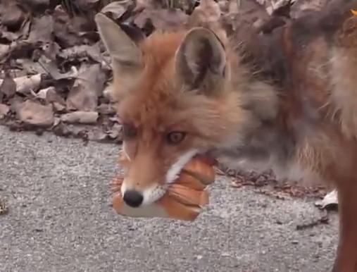 ჩერნობილში ჟურნალისტებს მელია მიეგება, მშიერი ცხოველი ადამიანებმა დააპურეს (+ვიდეო)