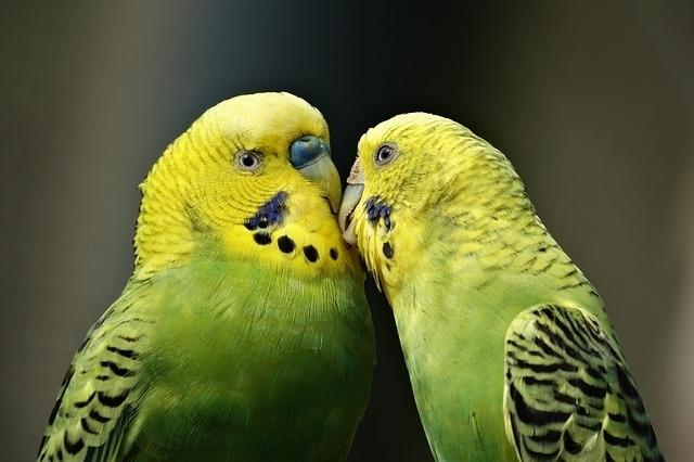 რატომ ლაპარაკობენ თუთიყუშები ადამიანის ენაზე?