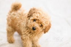 9 მინიატურული ძაღლის ჯიში, რომლებიც საუკეთესო დარაჯები არიან