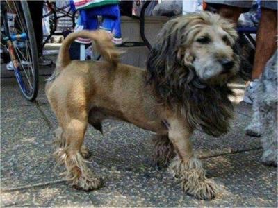 ძაღლები ყველაზე ცუდი ვარცხნილობით (+ფოტო)
