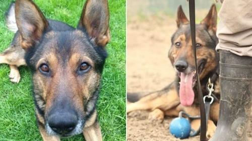 პოლიციელმა ძაღლმა მძიმე ჭრილობები მიიღო, როდესაც საკუთარ მეწყვილეს იცავდა