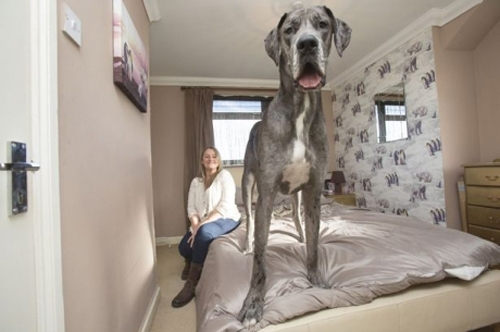 ფრედი მსოფლიოში უდიდესი ზომის ძაღლად აღიარეს!