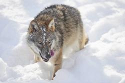 ფინელ ძაღლებს მგლისგან წიწაკით დაიცავენ…