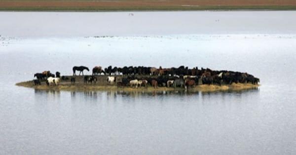 100 ცხენი კუნძულზე დარჩა, წყალი ყოველ დღე მატულობდა, მათ შველა სჭირდებოდათ (+ვიდეო)