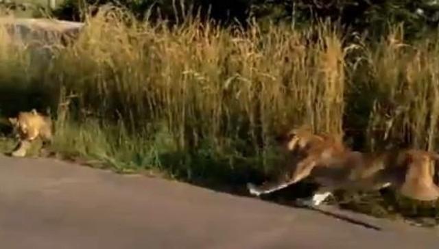 დედა ლომი ბოკვერს საფრთხისგან იცავს (+ვიდეო)