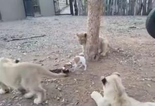 ერთი ციდა ლეკვმა 3 ლომის ბოკვერი ხორცის ნაჭერთან არ მიუშვა (+ვიდეო)