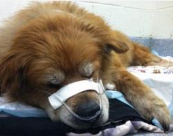 მაშველების მოსვლამდე, ძაღლი პატრონს ხანძრისგან იცავდა
