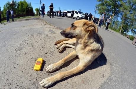 ჩერნობილის ტერიტორიაზე მცხოვრები უპატრონო ძაღლები სპეციალისტებს რადიაციული ზემოქმედების შესწავლაში ეხმარებიან