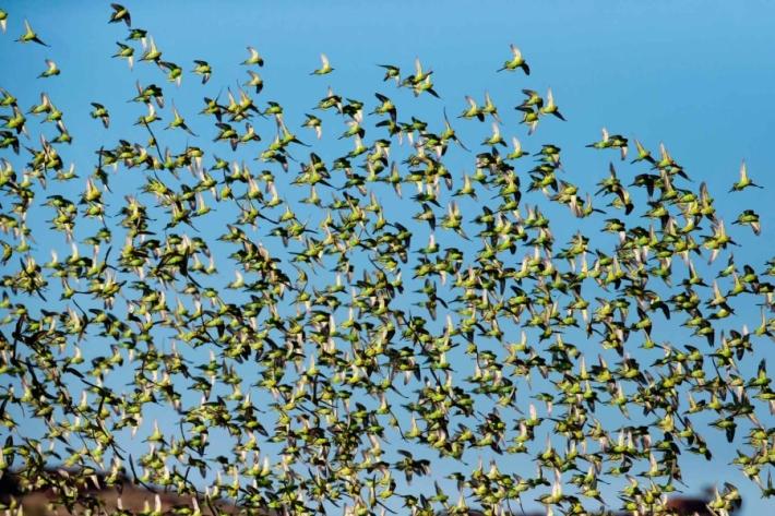 რატომ არიან ტალღოვანი თუთიყუშები სხვადასხვა ფერის