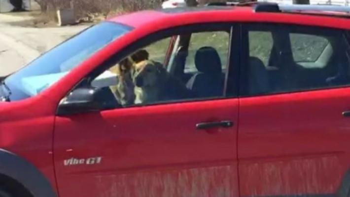 """ძაღლებმა ავტომობილი """"გაიტაცეს"""""""