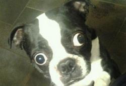 ძაღლი, რომელსაც ყველაზე დიდი თვალები აქვს, გინესის წიგნში მოხვდა