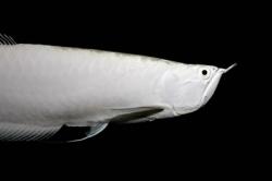 80 000 დოლარად ღირებული აკვარიუმის თევზი