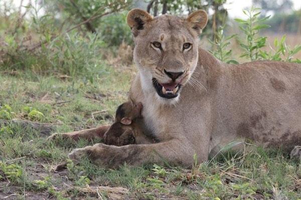 შოკისმომგვრელი ისტორია ლომისა და პატარა ბაბუინის შესახებ