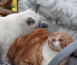როგორ გავაშველოთ ჩხუბის დროს კატები?