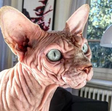 კუდიანი უცხოპლანეტელი – აღმოჩენილია ყველაზე ულამაზო კატა მსოფლიოში, მაგრამ მისი პატრონი დარწმუნებულია, რომ ის უსაყვარლესია (+ფოტო)